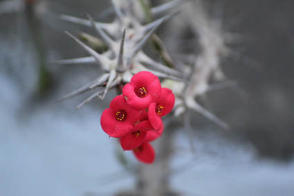 Picture of thorny white stem with bright pink flowers on the top of the plant